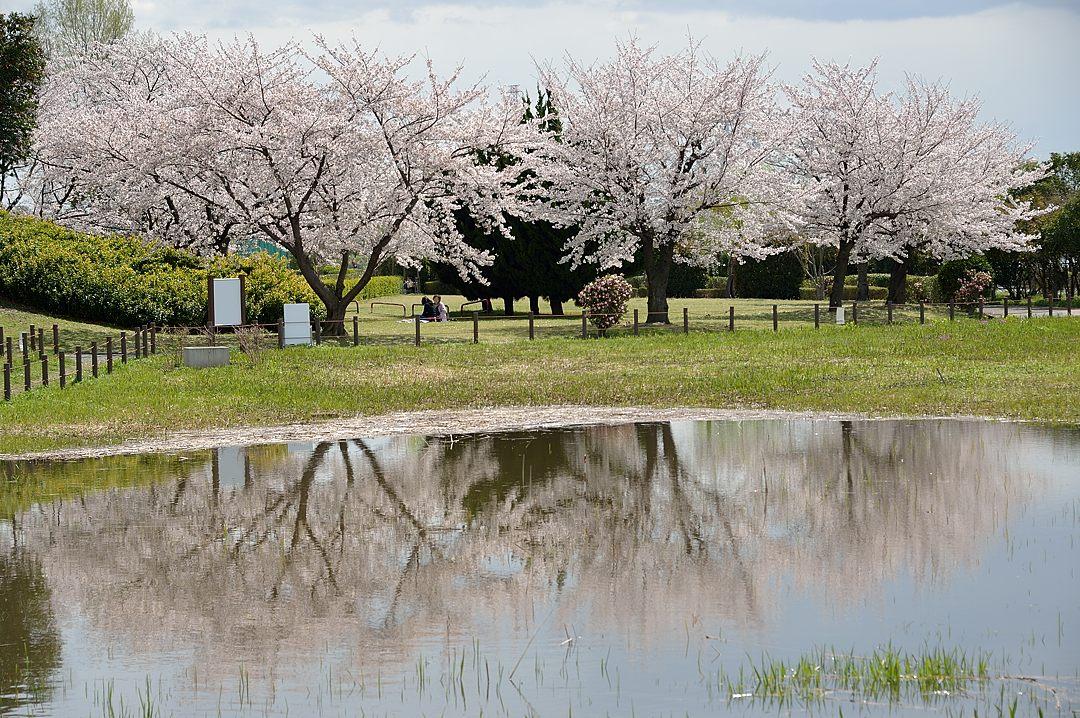 水溜りに写り込んだ桜