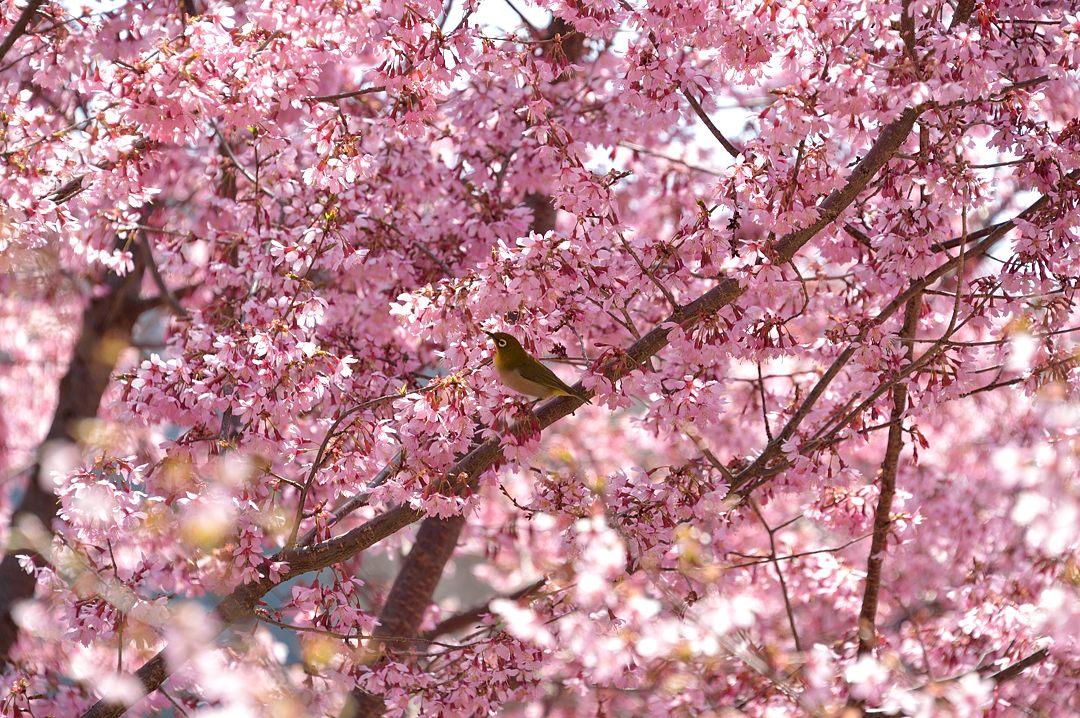 オカメ桜&目白