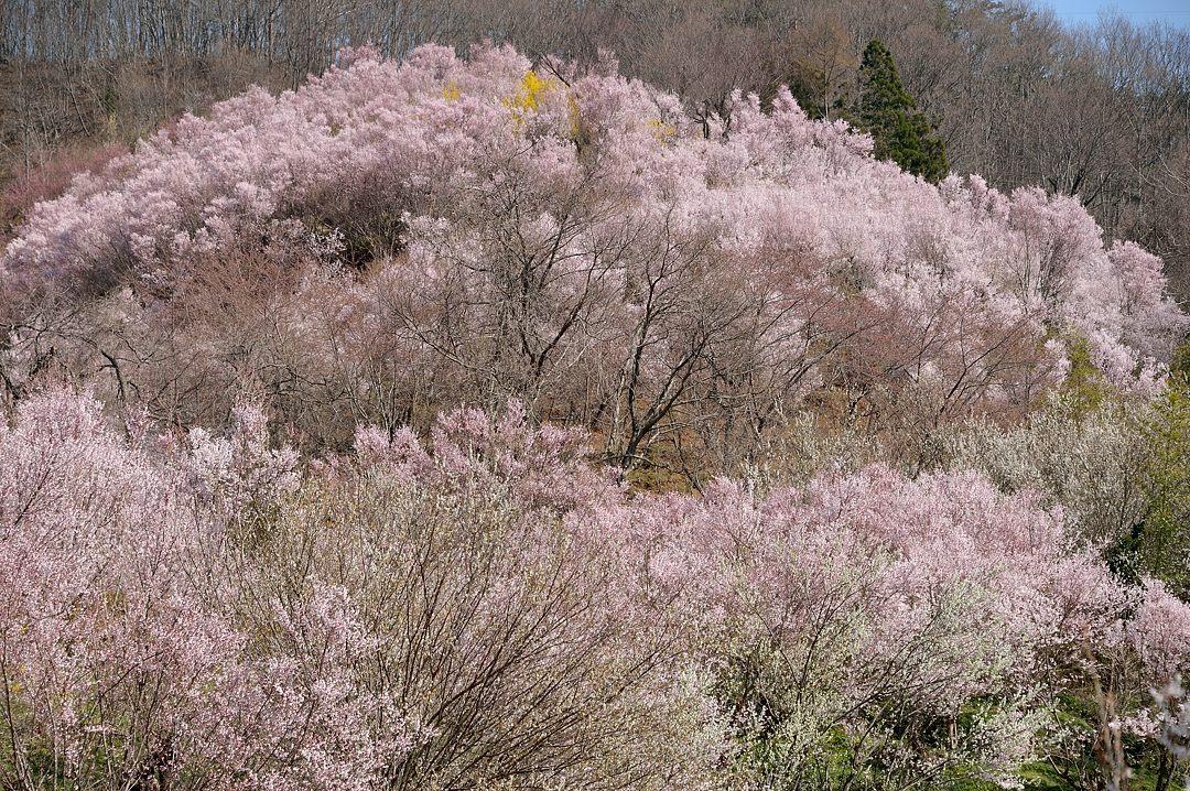 花見山山腹の桜