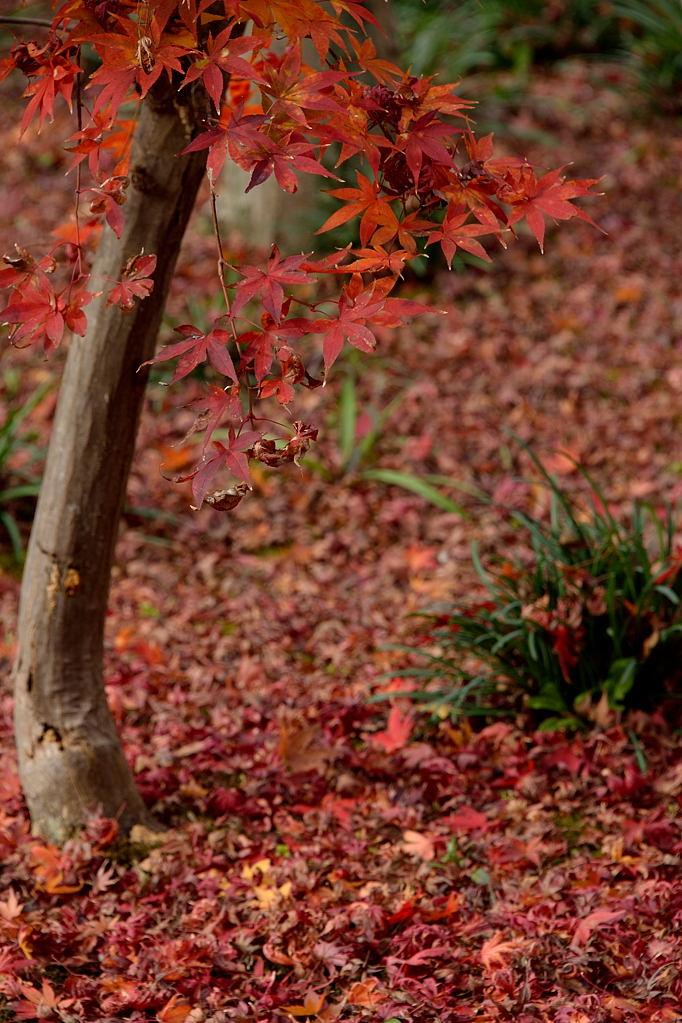 敷き詰められた紅葉