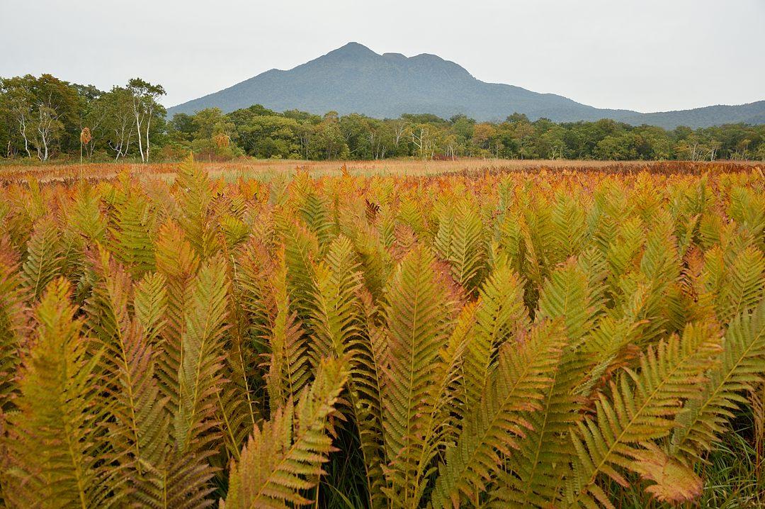 ヤマドリゼンマイの群落と燧ケ岳