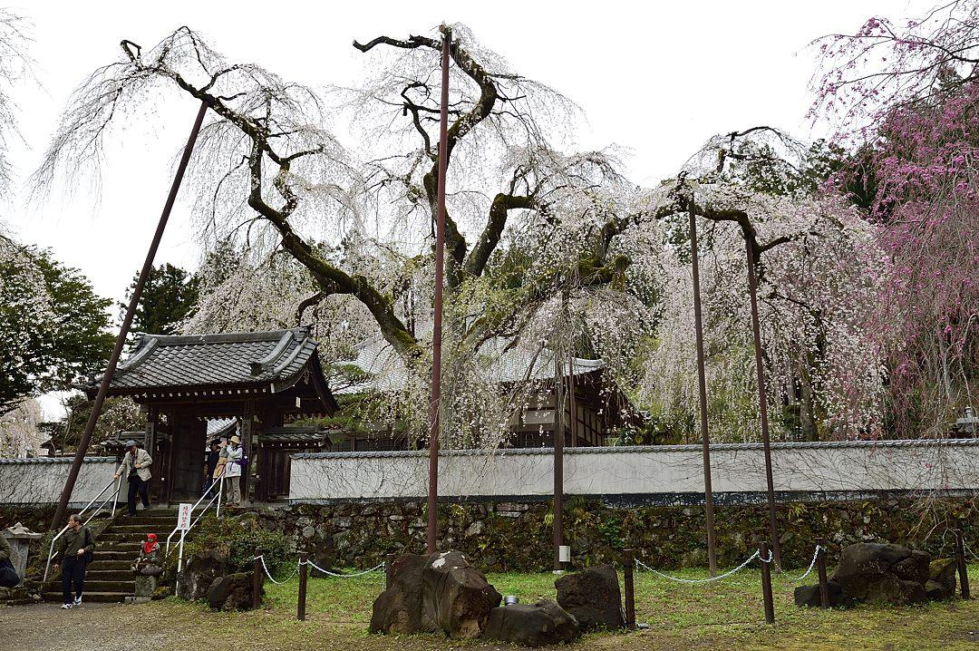 枝垂桜と本堂
