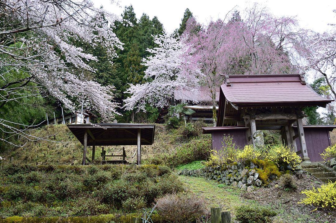 枝垂桜と山門