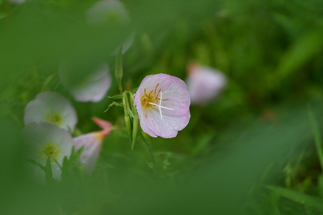 桃色昼咲き月見草