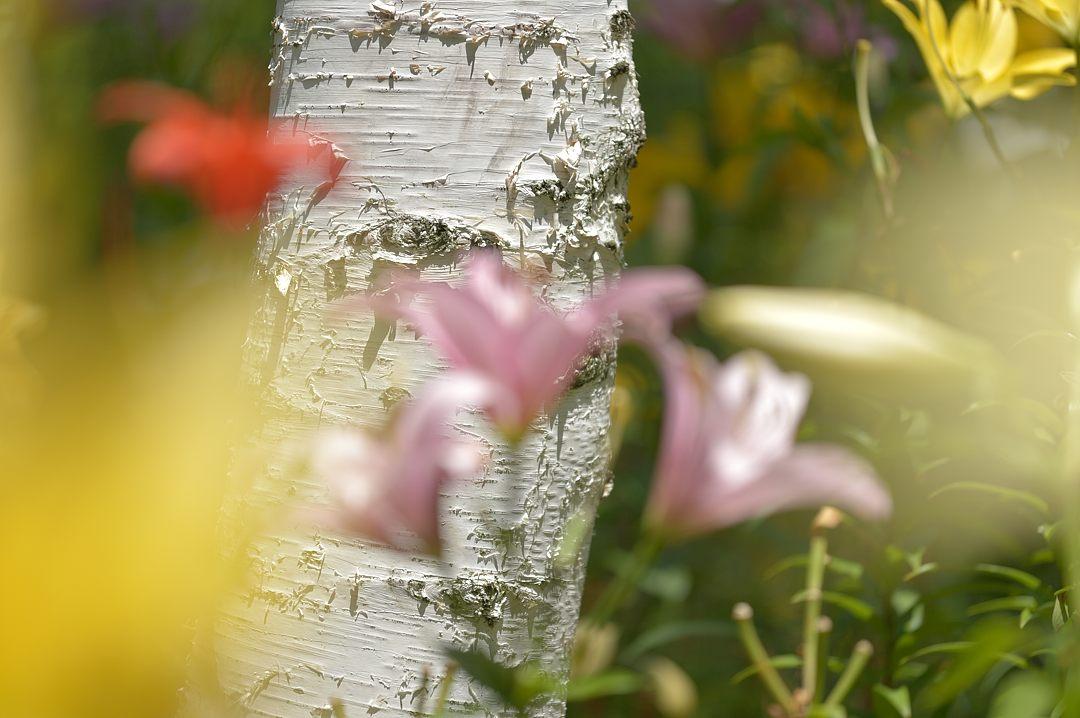 白樺林のユリ