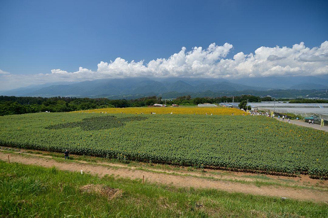 ヒマワリ畑・後ろの山は南アルプス