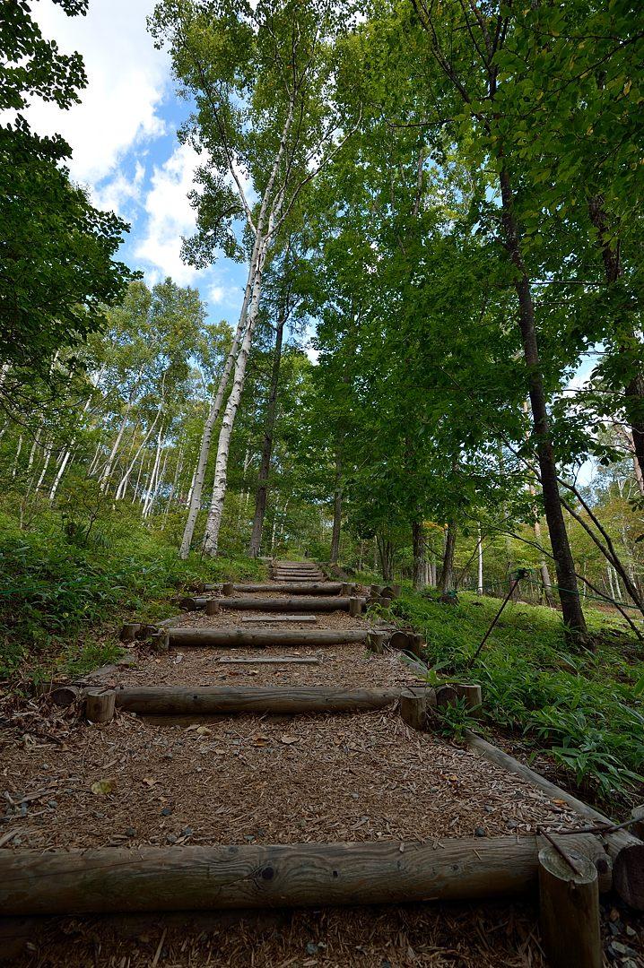 白樺林への道