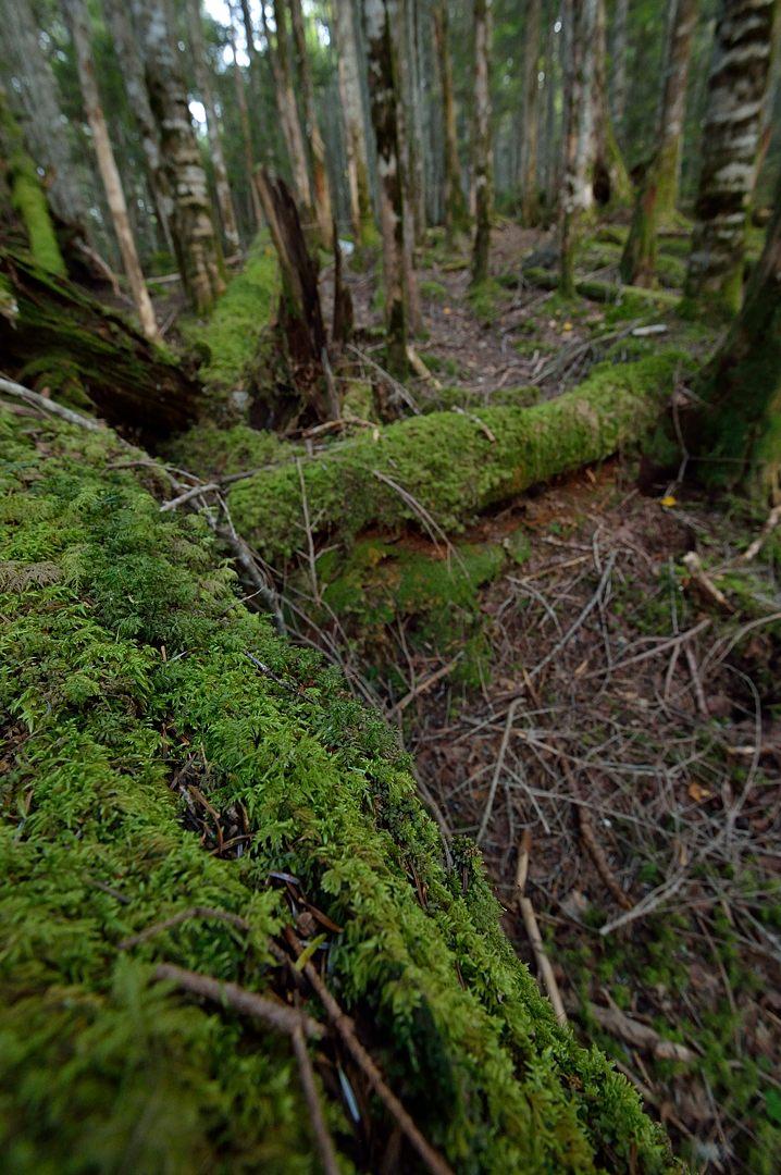 倒木上の苔