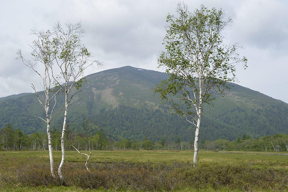 白樺と至仏山
