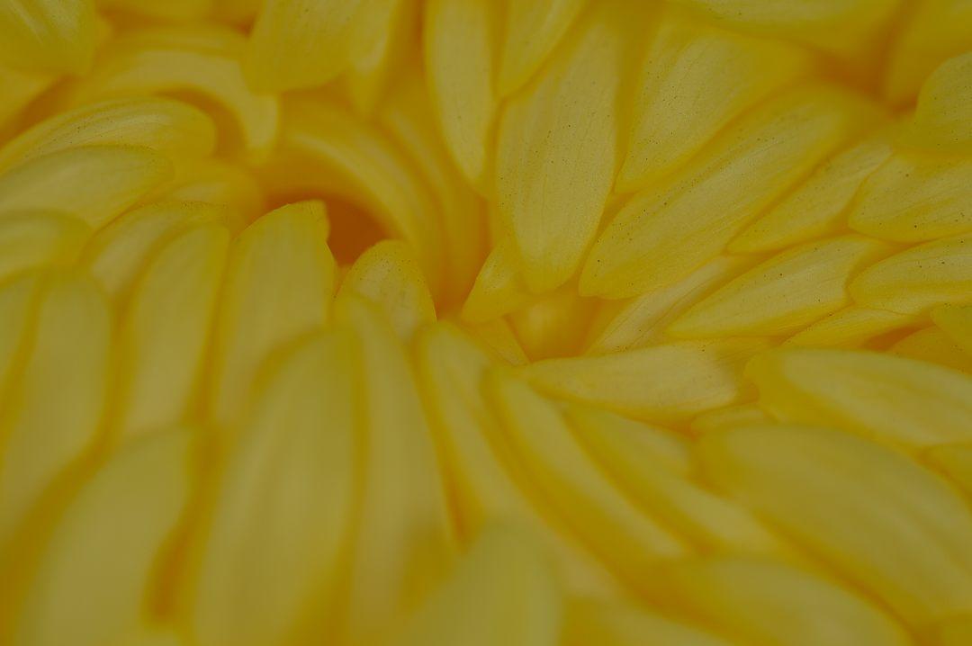 大菊の中心部