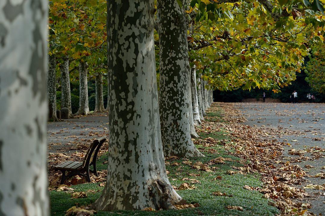 プラタナスの並木、少し黄葉が始まっていました。