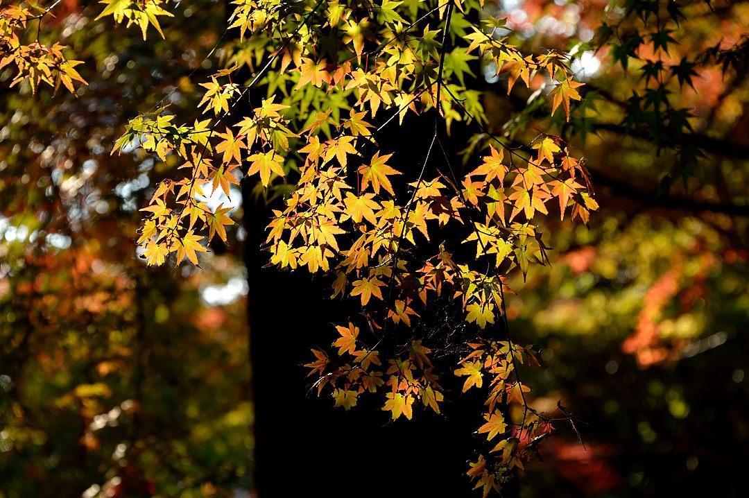 透過光の黄葉