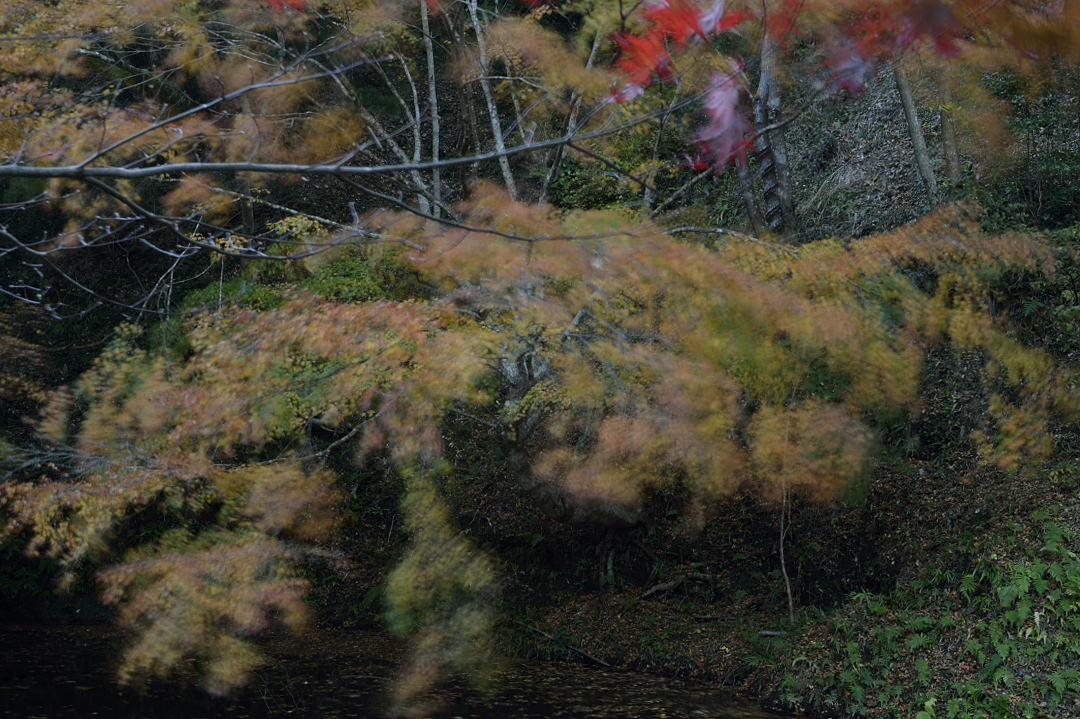 風に揺れる黄葉