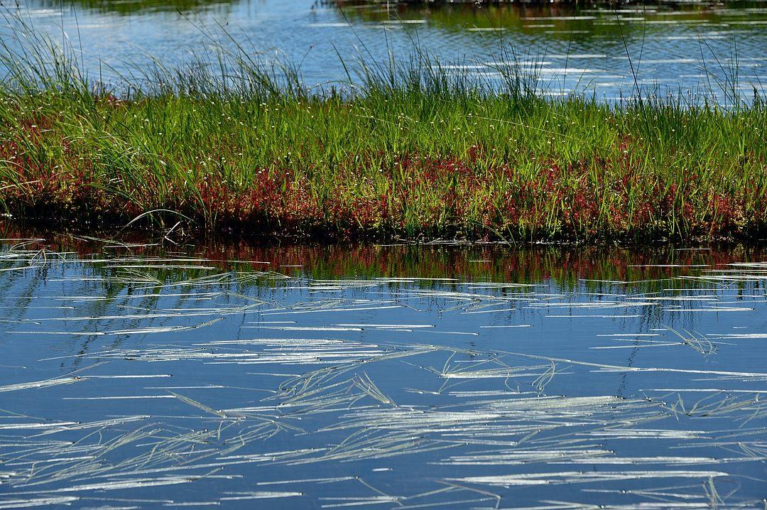 モウセンゴケ《イモリ池》