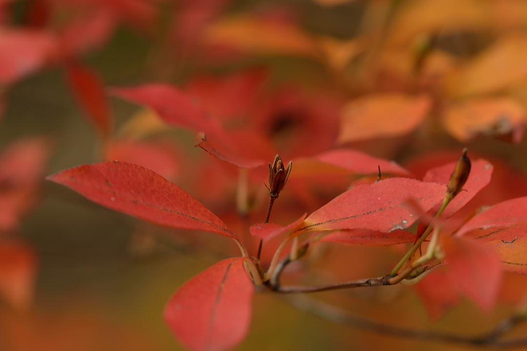 躑躅の紅葉