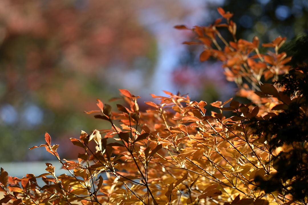 灯台躑躅の葉