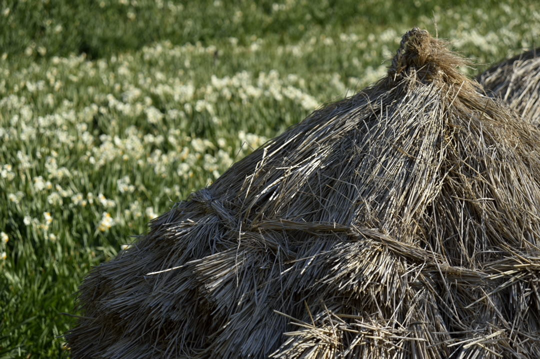 水仙畑の藁ボッチ