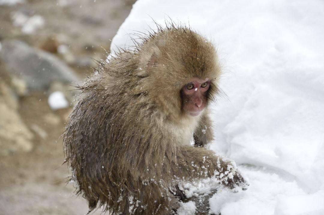 餌を探す小猿