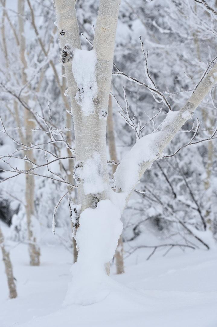 白樺の着雪
