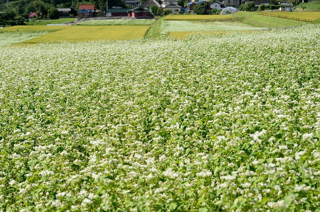 ソバ畑と色づいた稲