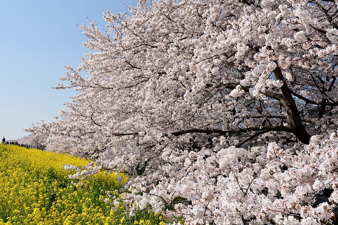 2kmに亘る桜並木