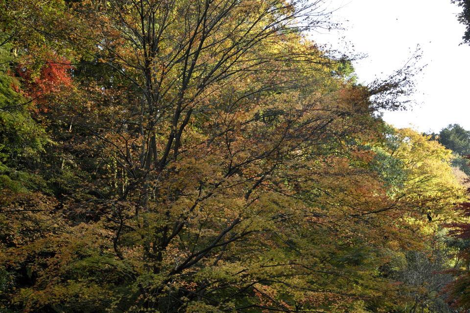 谷沿いの黄葉