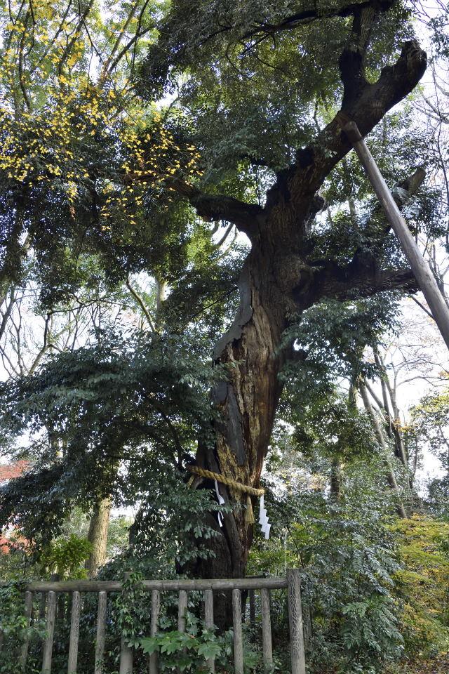 御神木の古木