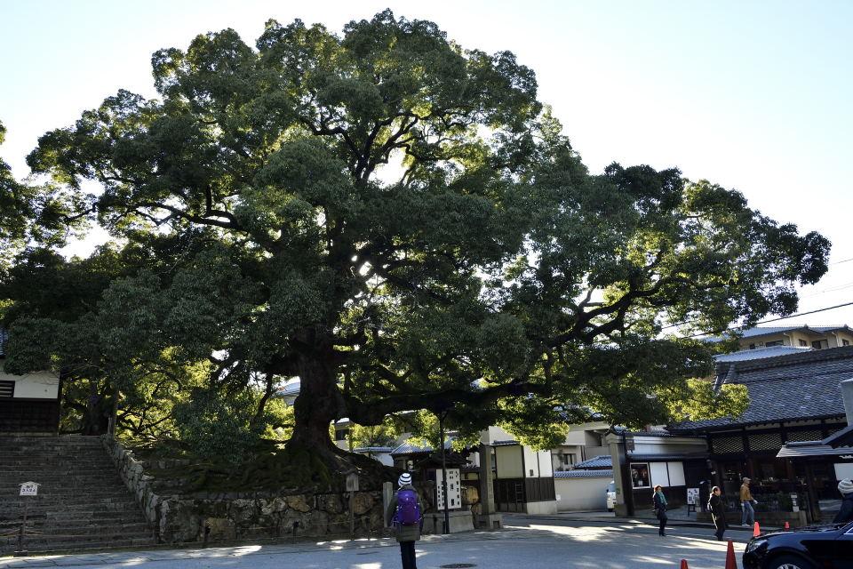 天然記念物の楠