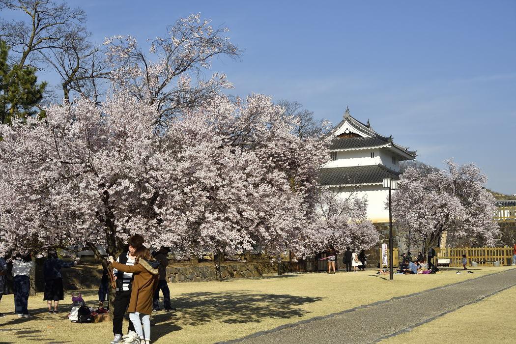 染井吉野と櫓