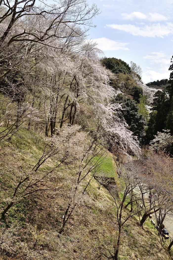 No.51-筑紫桜