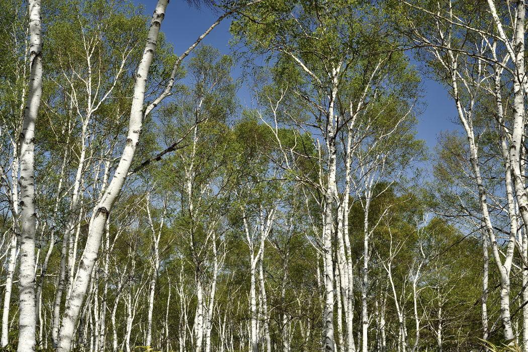 白樺の木肌
