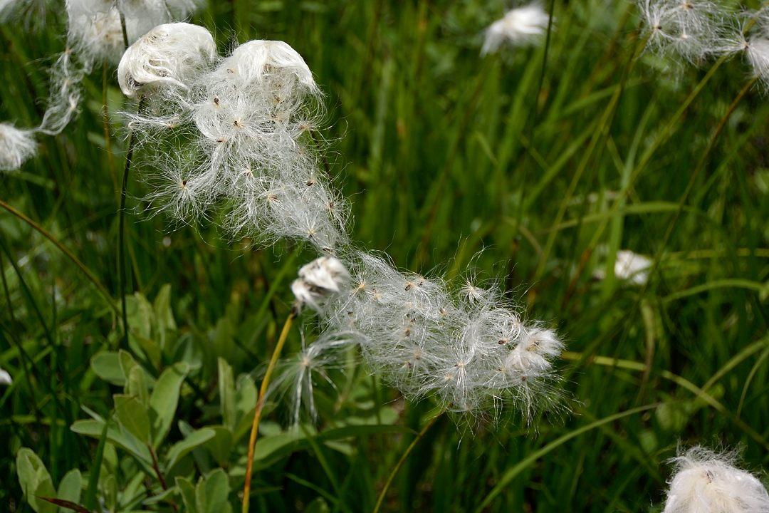 飛んで行きそうなワタスゲの種子