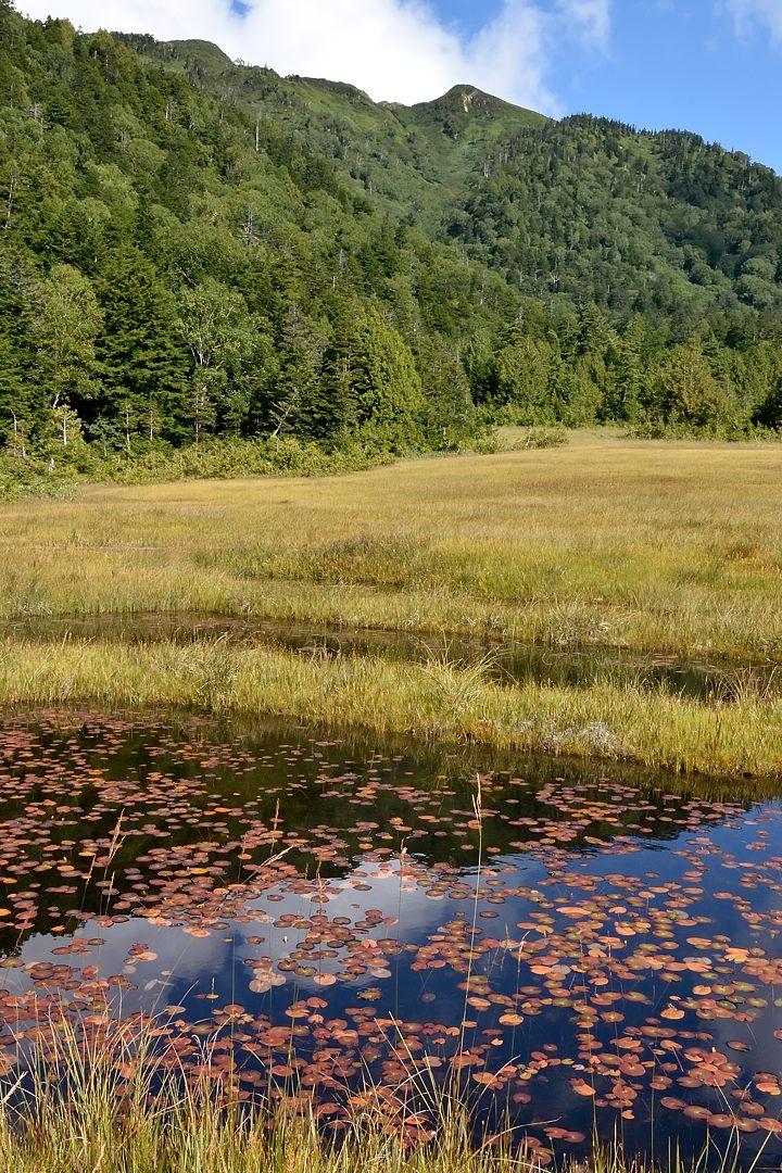 紅葉したヒツジグサ at 沼尻