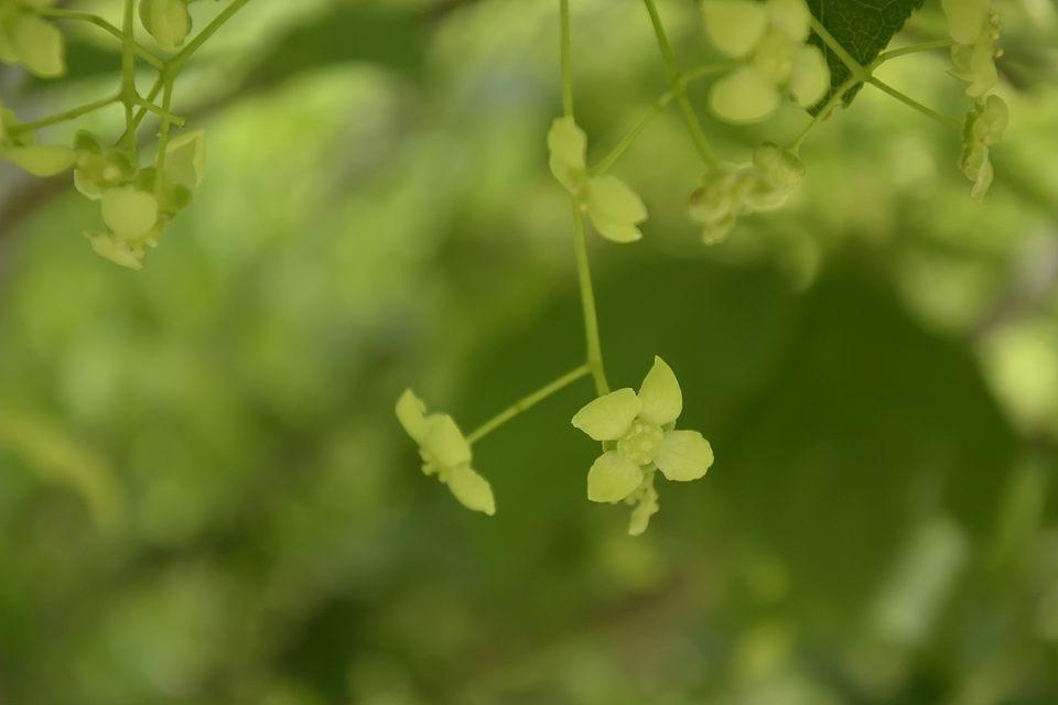 マユミの花