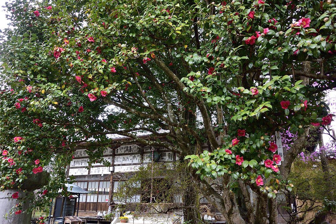 椿の大木と本堂