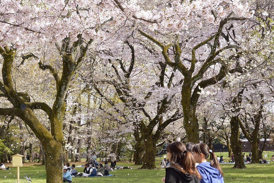 桜吹雪舞う