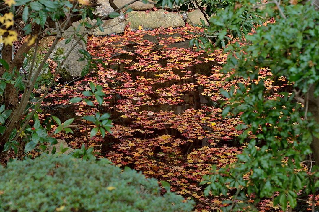 龍安寺・水面の紅葉
