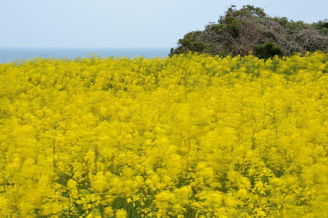 【11:38】 風に揺れる菜の花