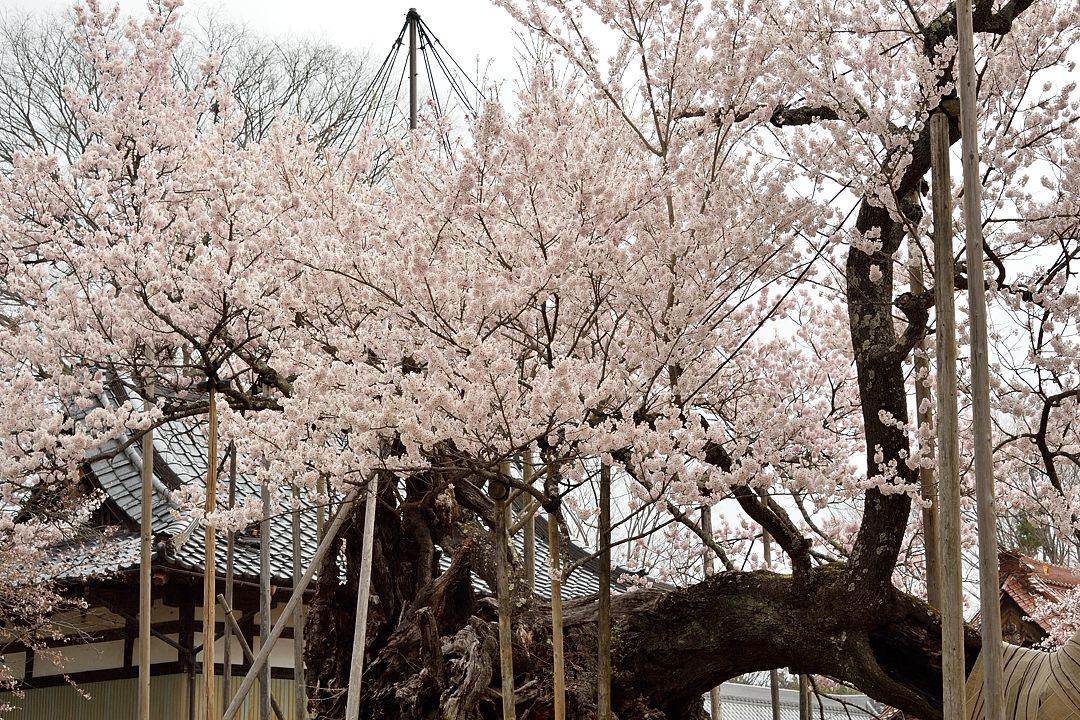 山高の神代桜