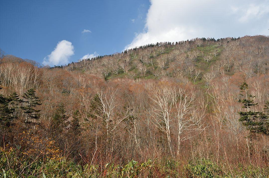 白い幹の岳樺の林