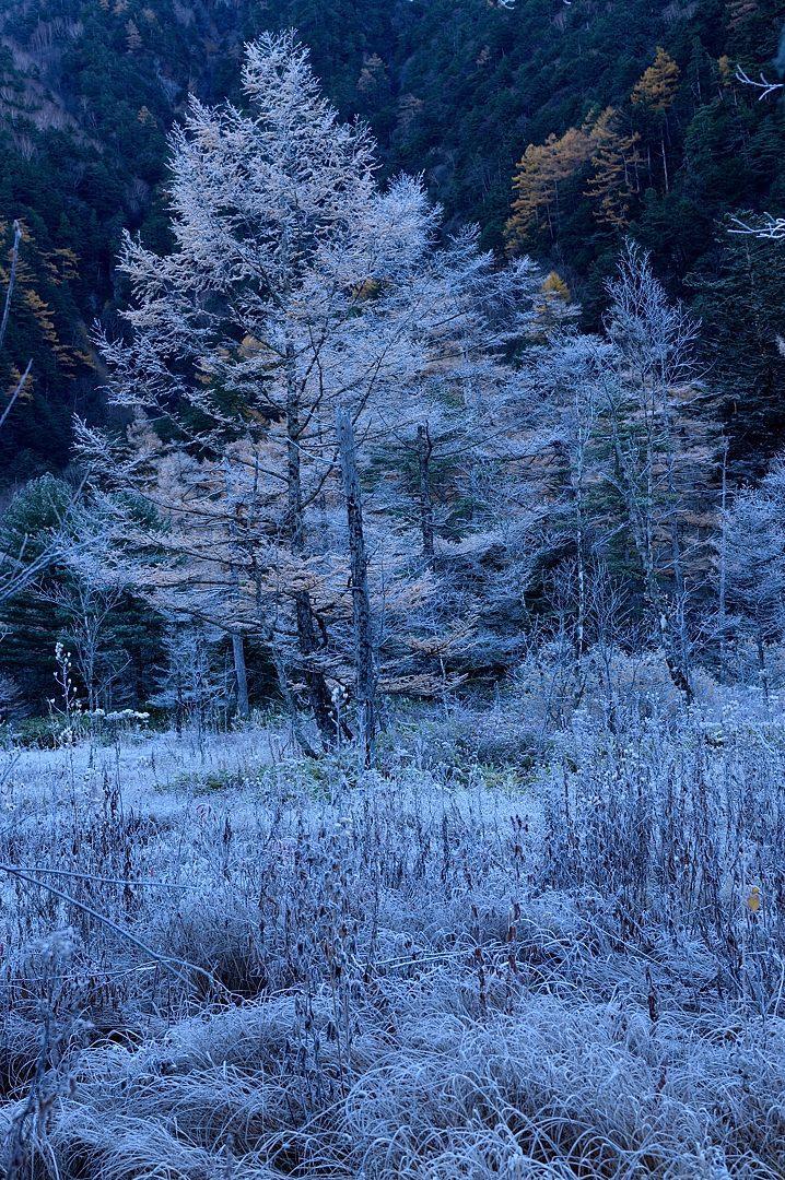 霜を纏ったカラマツ