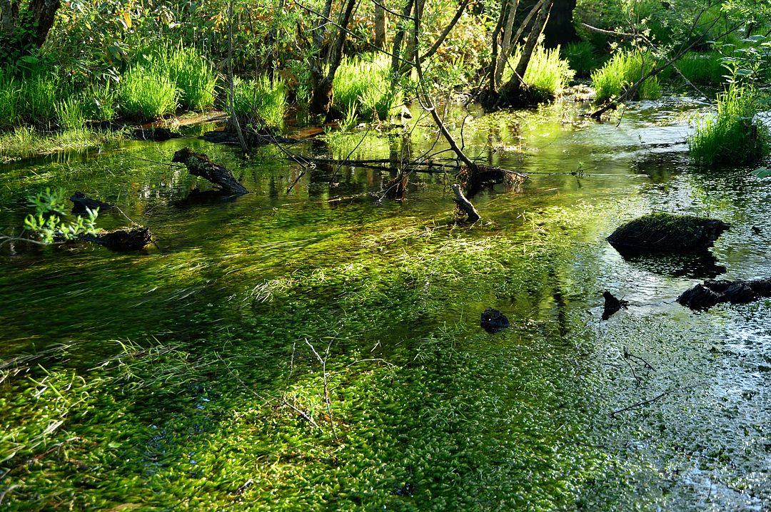 梅花藻の湿地