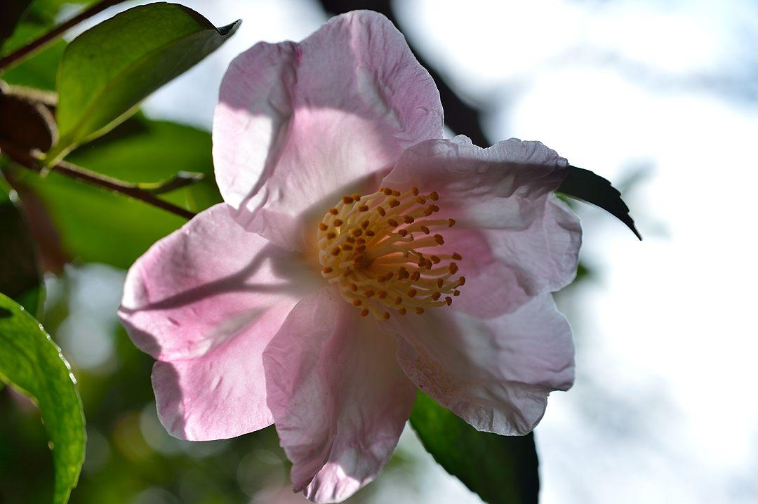 山茶花、秋の陽を受けて薄いピンクの花が綺麗でした。