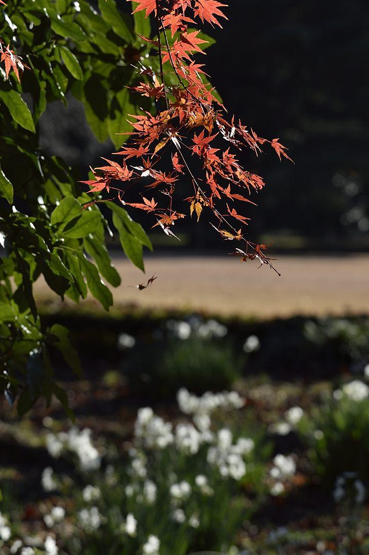 紅葉と水仙