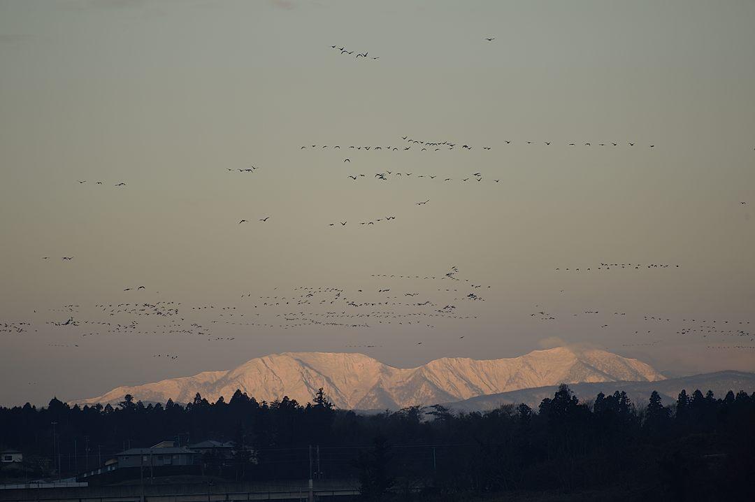 モルゲンロートの雪山の上を、マガンの群れが飛ぶ