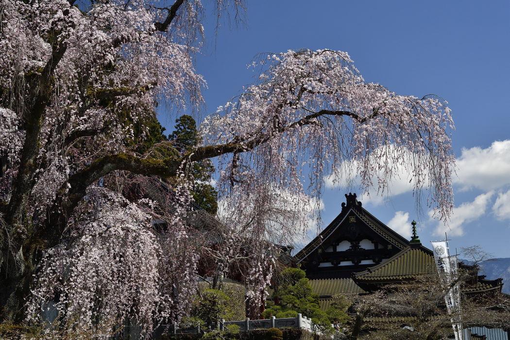 祖師堂前の枝垂桜
