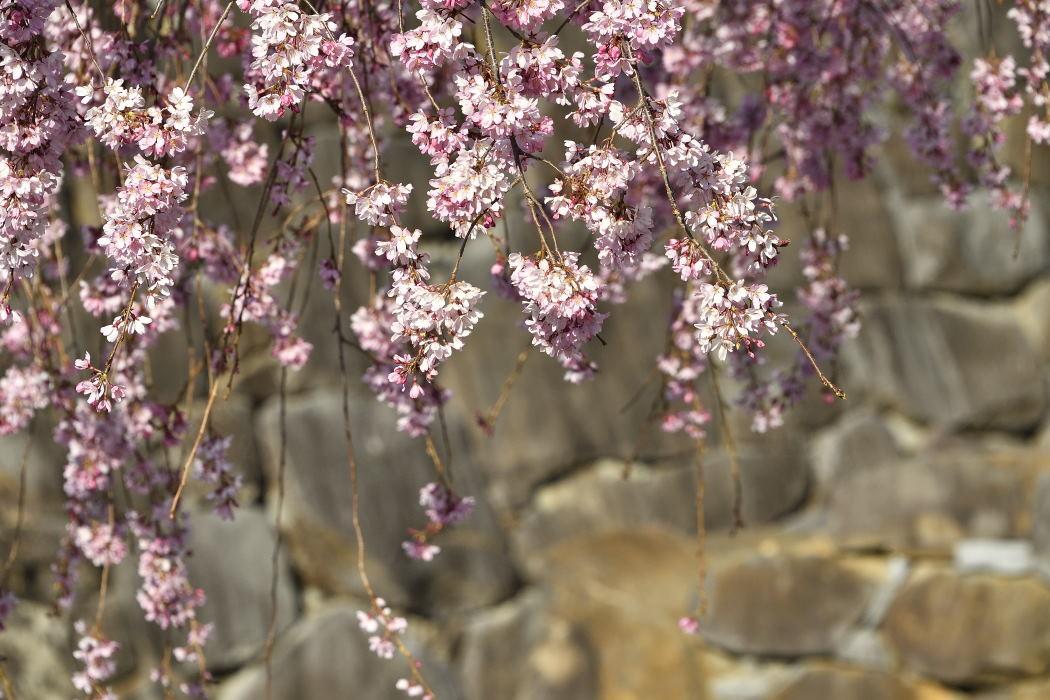 枝垂桜と石垣