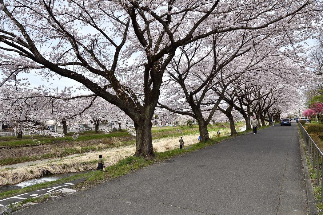 南浅川沿いの桜並木