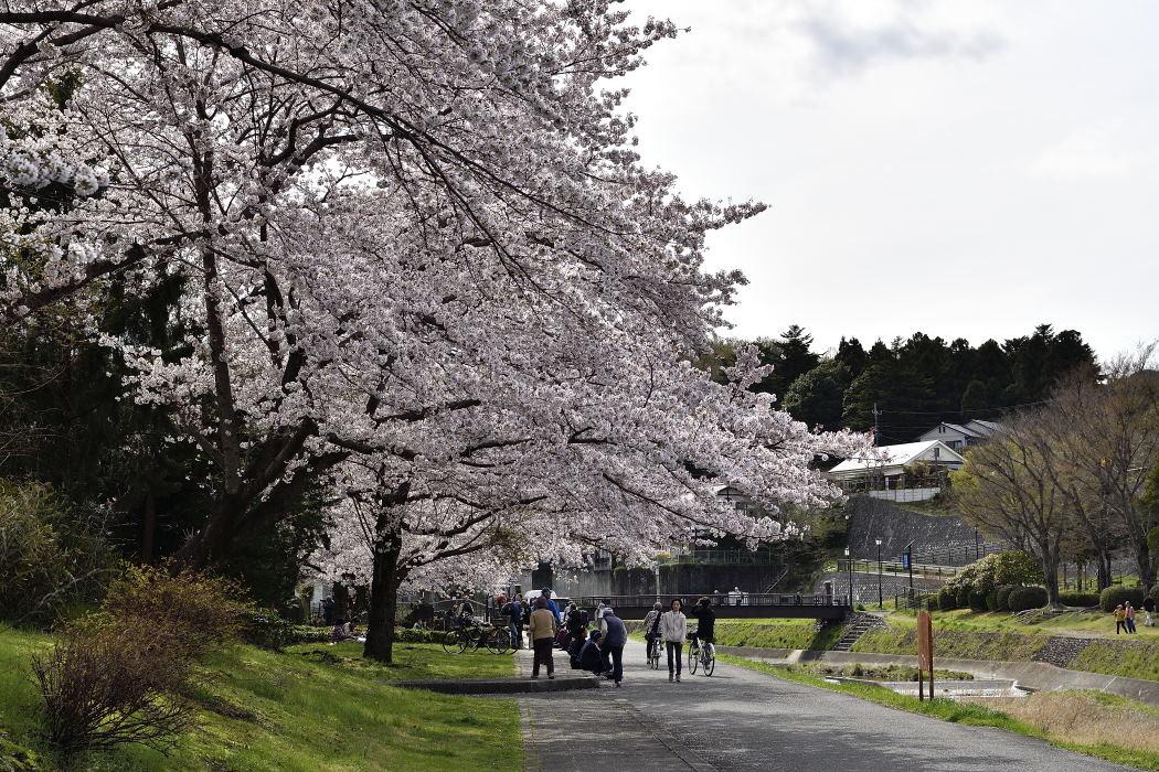 散歩する花見客